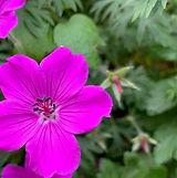 lilla blomst cropped.jpg