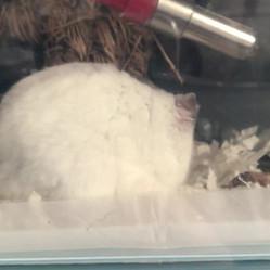 Meet Alfie. Dwarf winter white baby..