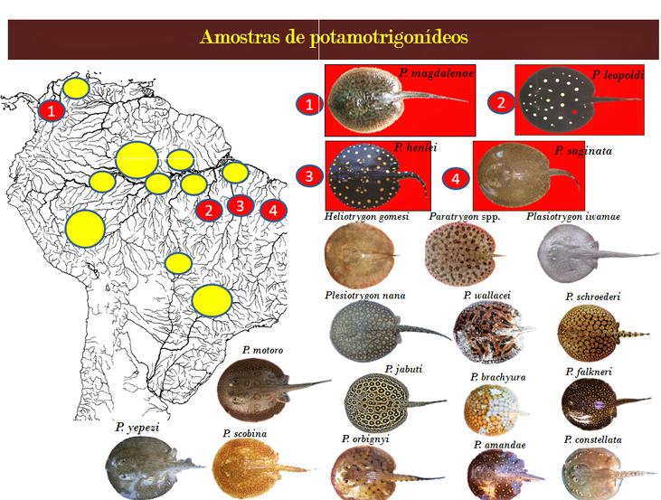 Pesquisa apresentada no Inpa sugere possível origem das arraias na bacia amazônica