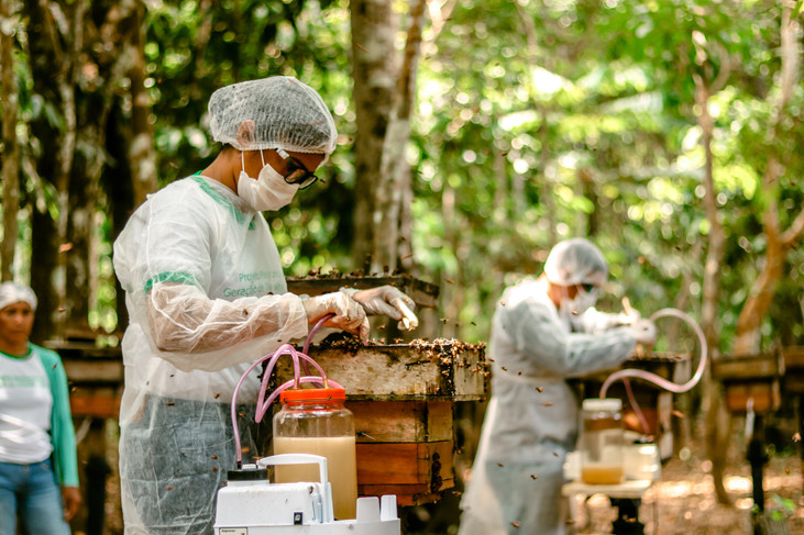 Manejo de abelhas sem ferrão gera renda e mantém a floresta em pé no Amazonas