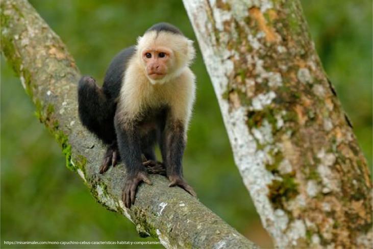 Investigadores toman acciones frente la extinción de primates en la Costa ecuatoriana