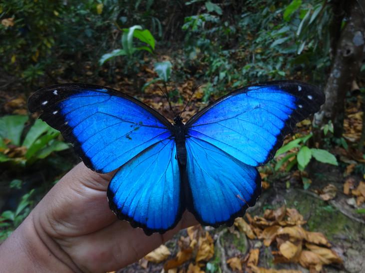Soluciones sostenibles | Crianza de mariposas amazónicas con fines de bionegocios en Perú