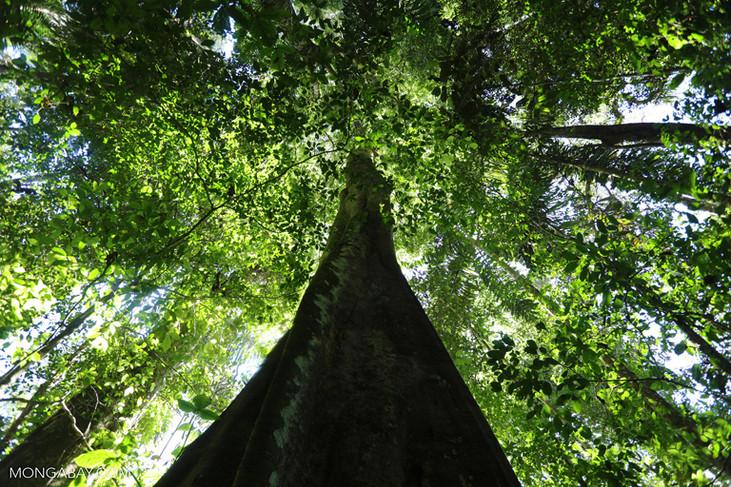 Índice de temperatura histórico e seca constatados na Amazônia durante o El Niño em 2015-16