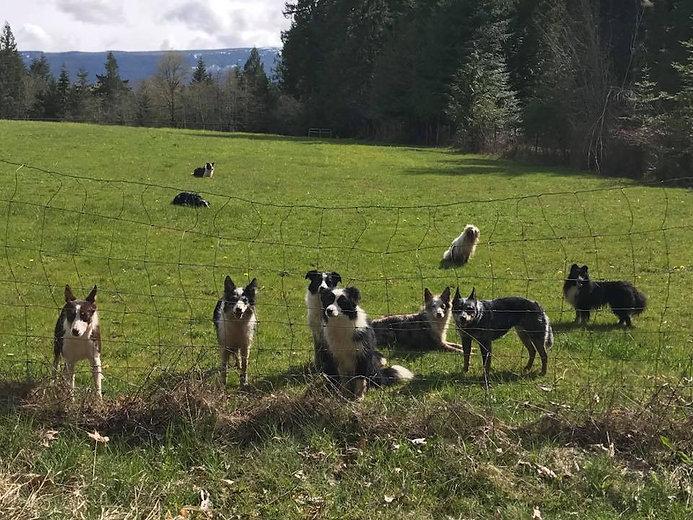 Dogs in the field 2.jpg
