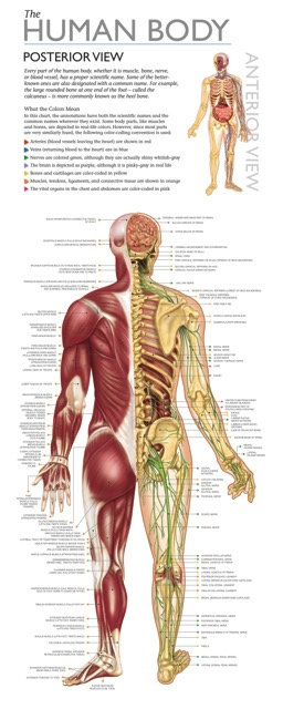 Discover the Human Body Educational Wall Chart