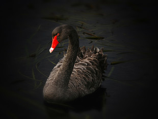 """FIXED INCOME COMMENT- The year of the """"Black Swan"""""""