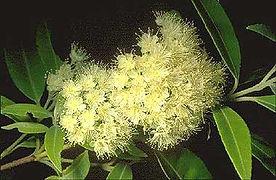 Lemon-myrtle-blossom.jpg