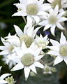 Flannel Flower.webp