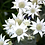 Thumbnail: Flannel Flower  - 70 hours