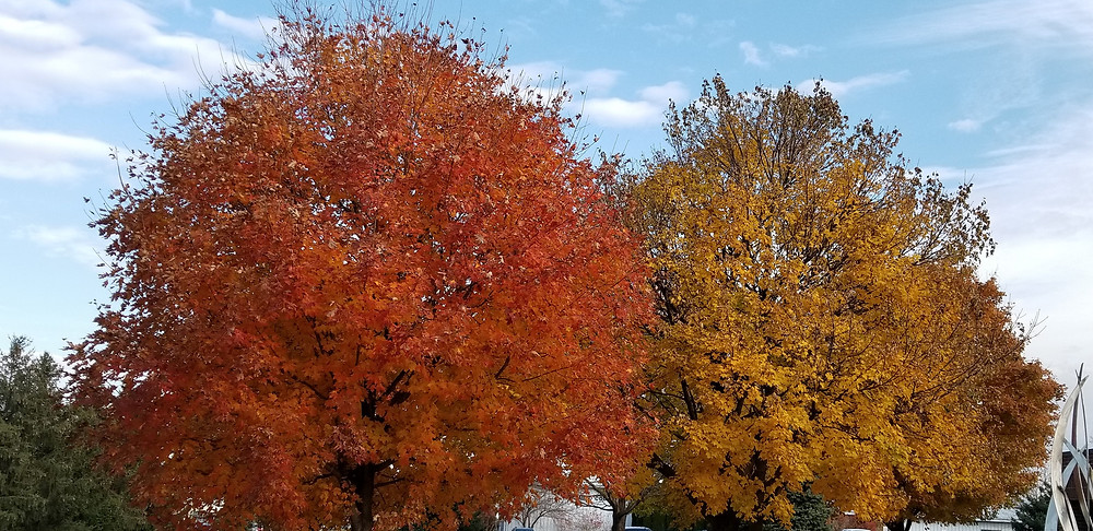 Picture of two trees. On the left the tree has red leaves. On the right, the tree has yellow leaves.