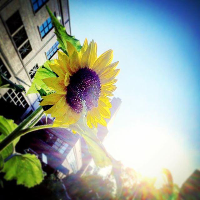 2015-09-16 - Good Morning Sunflower
