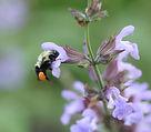 Bee%2520sage1_edited_edited.jpg