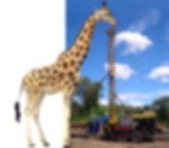 giraffe-pic_2.jpg