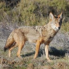 coyote-04.jpg