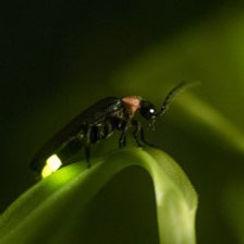 Firefly closeup.jpg