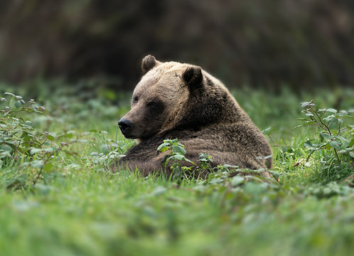 Adult Grizzly Bear