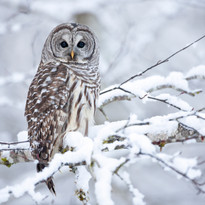 Barred Owl_Brandon Broderick.jpg