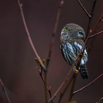 Northern Pygmy Owl_Brandon Broderick.jpg