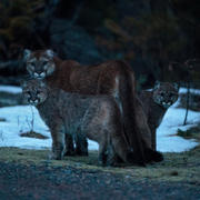 Wild Mountain Lion Family