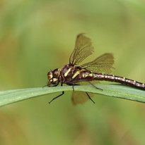 Zyah_Healey_–_A_dragonfly-YOU.jpg