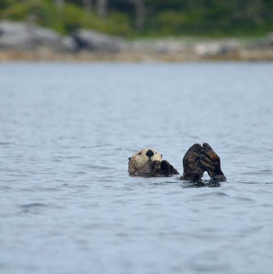 Sea Otter Siesta_Marco Arimare.jpg