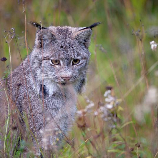 Lynx_Brandon Broderick.jpg
