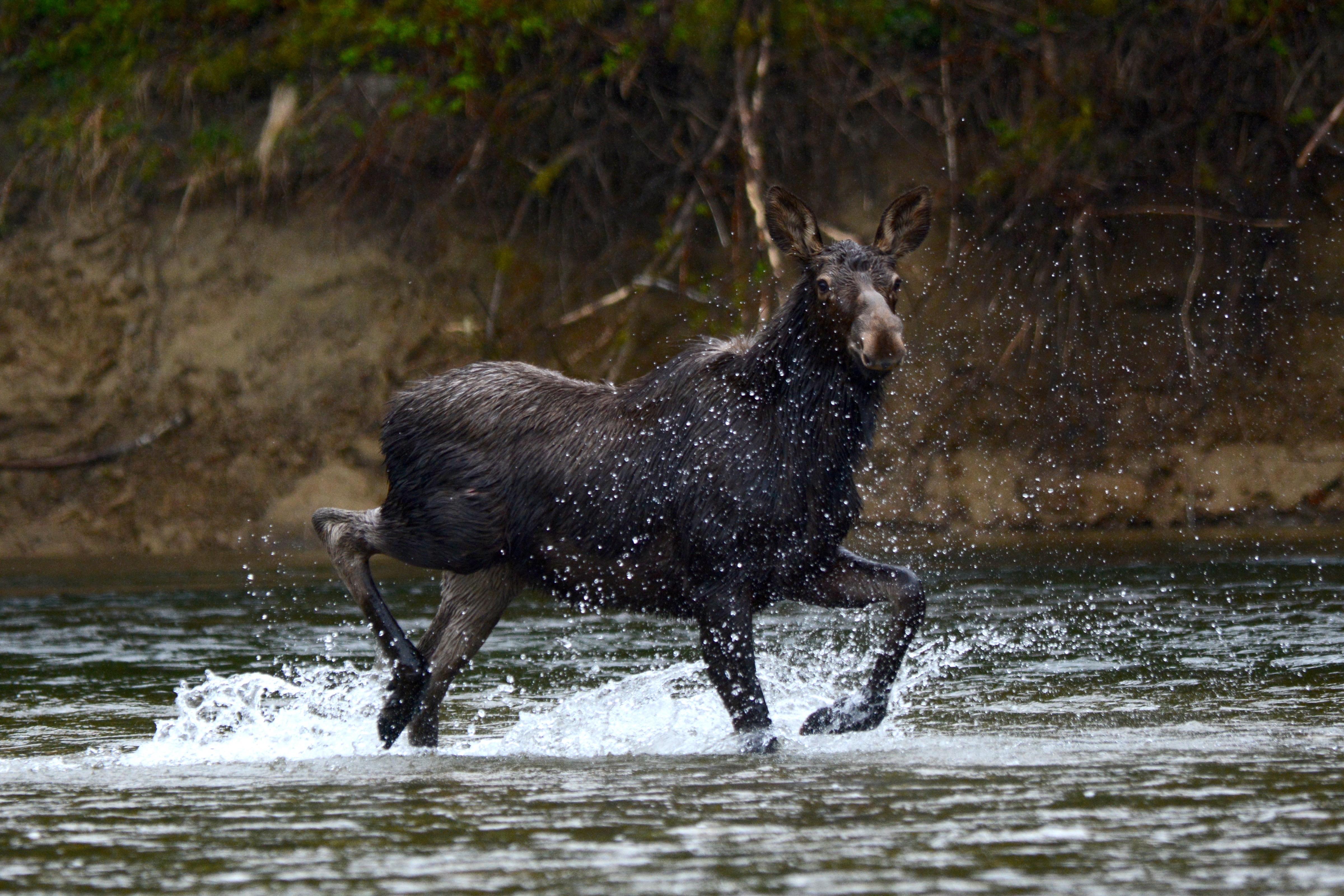 Dancing Moose