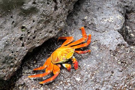 Flashy crab