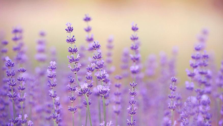 Lavender2_edited_edited.jpg