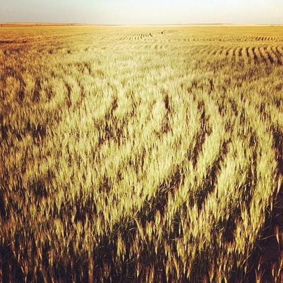 Kansas wheat..jpg