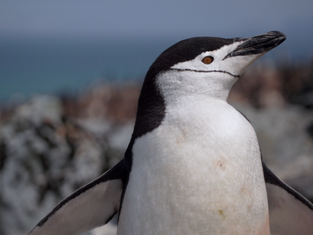 """Antarctica's """"Disappearing Penguins"""""""