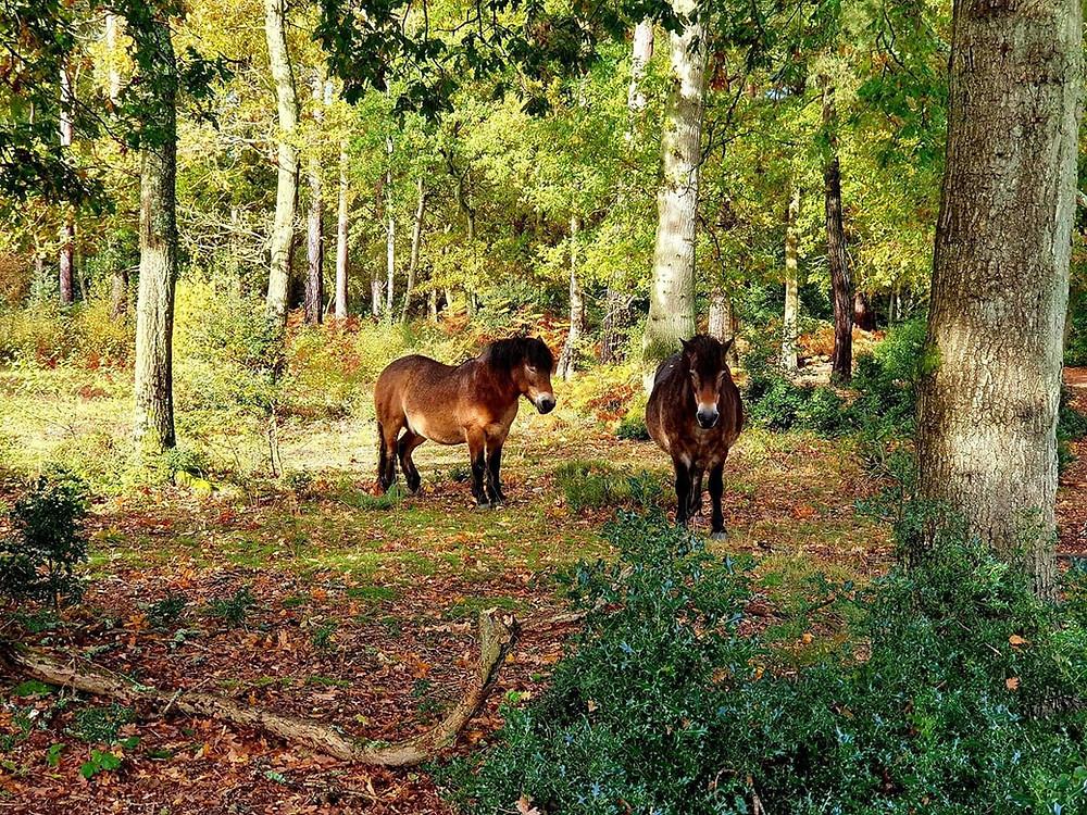 Wild(ish) Exmoor ponies at Burnham Beeches