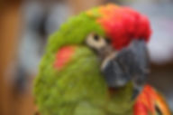 Adopt a Macaw from Exotic Bird Rescue of Oregon EBR