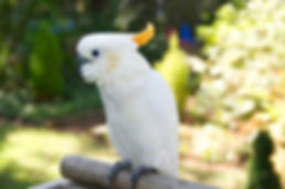 Cockatoos available for adoption at Exotic Bird Rescue of Oregon EBR