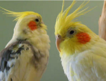 Beautiful parrots available to adopt at Exotic Bird Rescue of Oregon EBR