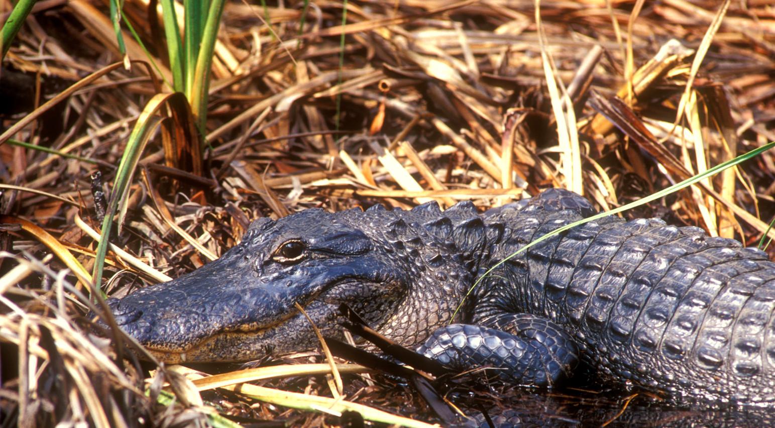 """American Alligator"" ©SMD"