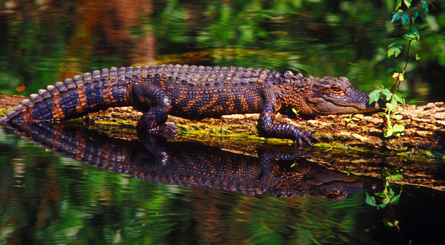 """Stump Gator"".jpg ©SMD"