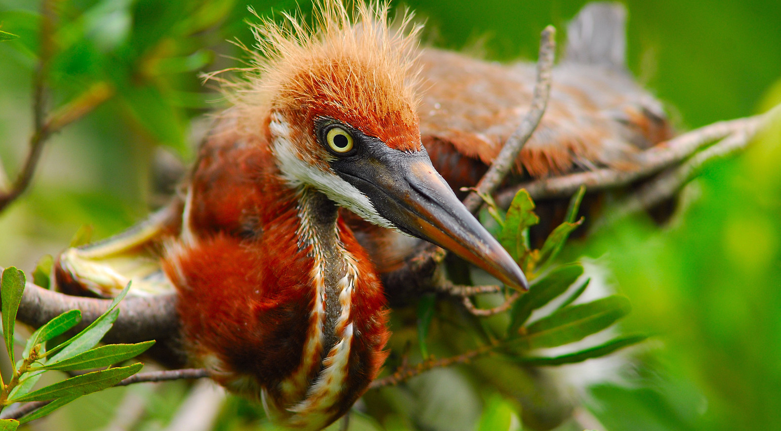 """""""Baby Tricolored Heron"""".jpg ©SMD"""