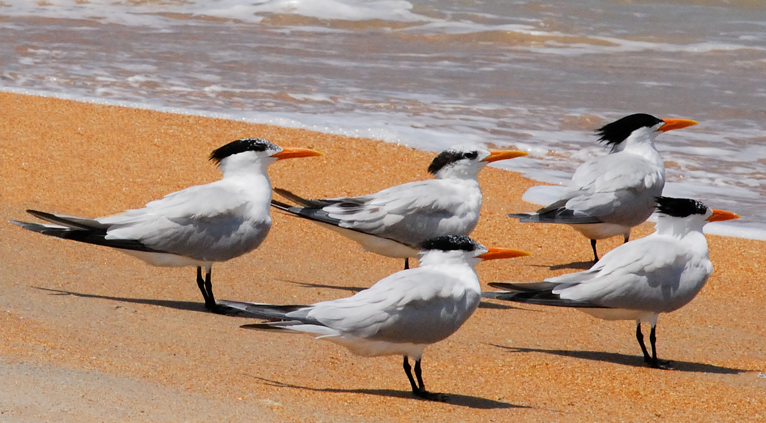 """Royal Terns"".jpg ©SMD"