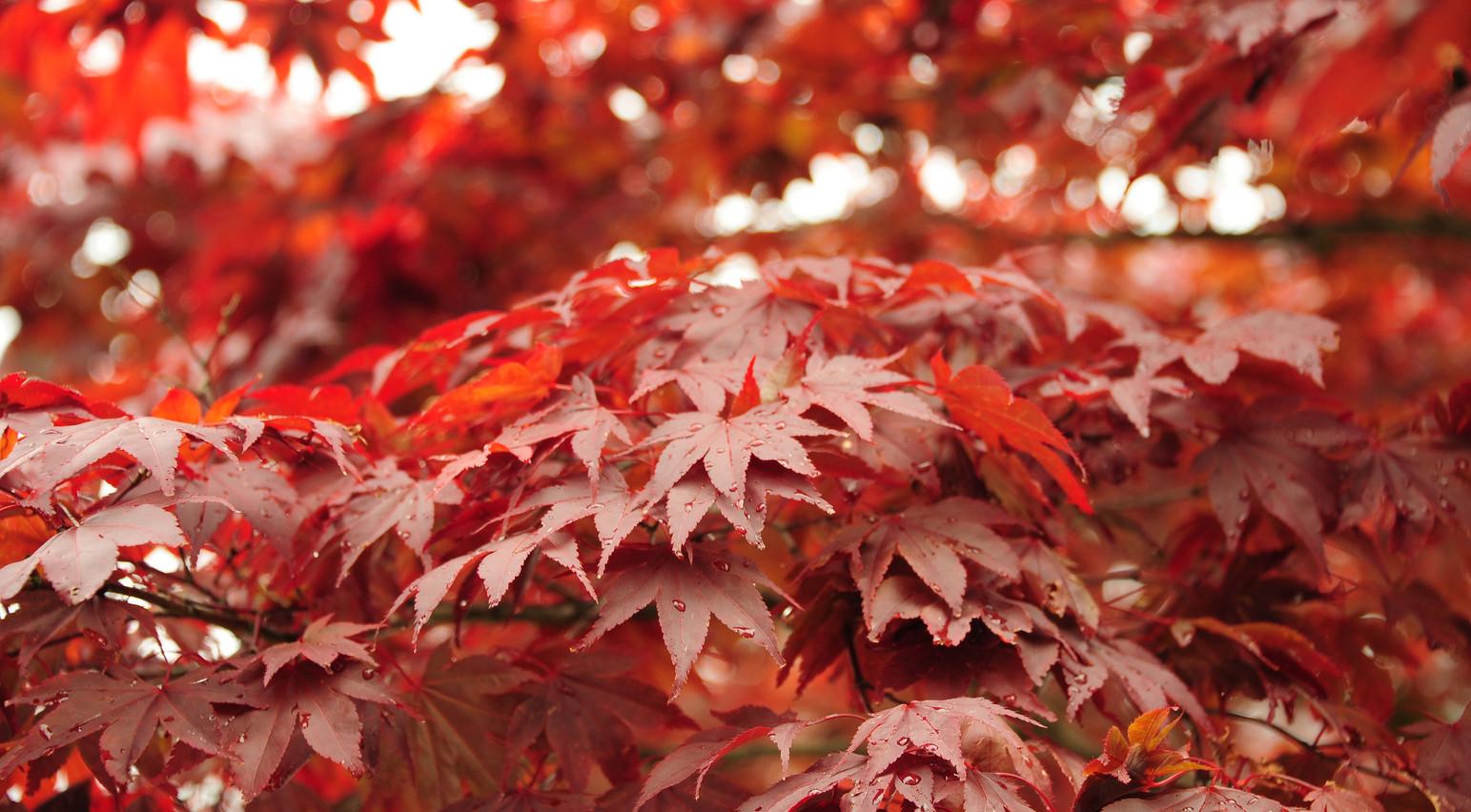 """Autumn Reds"".jpg ©SMD"
