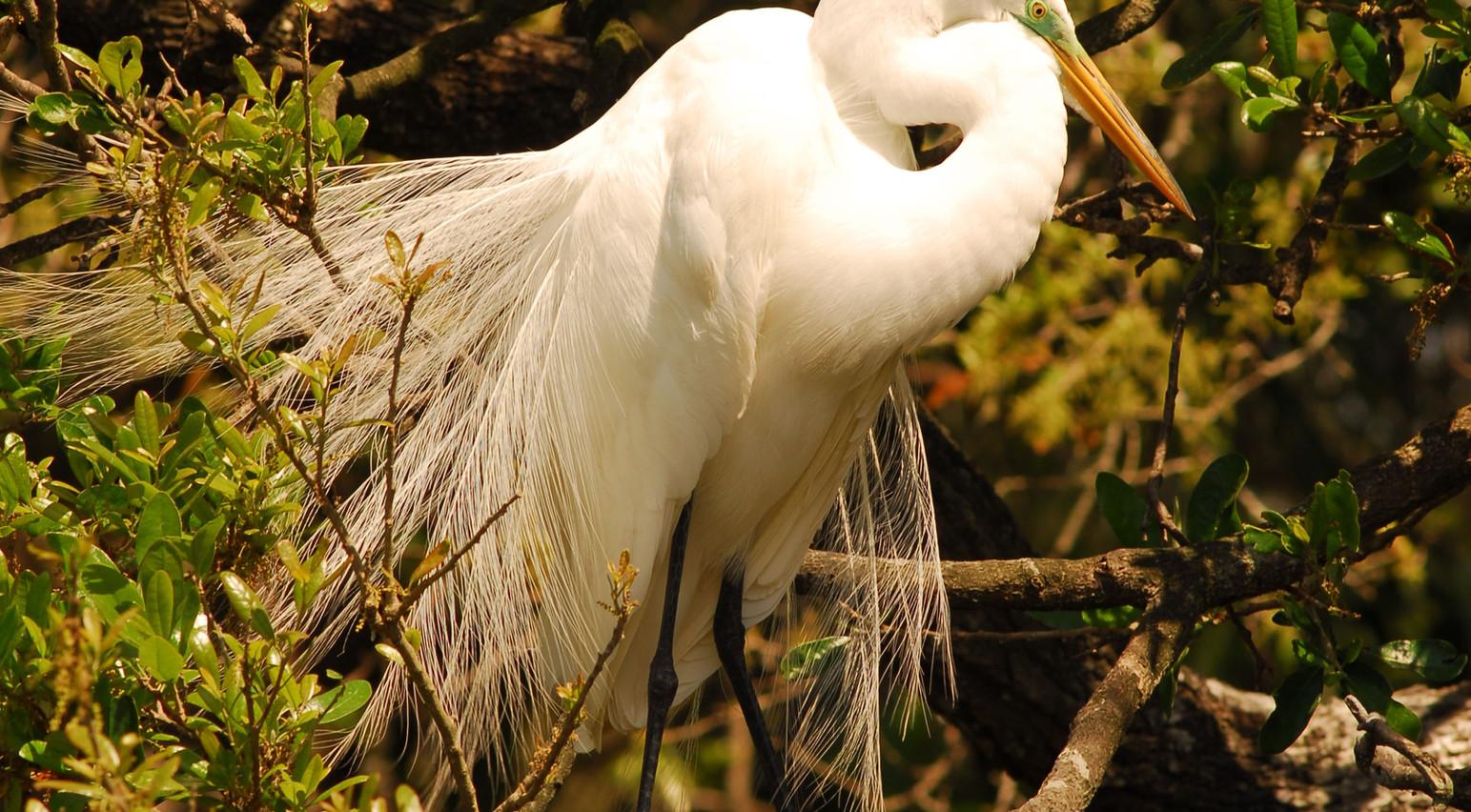 """Great White Heron"".jpg ©SMD"