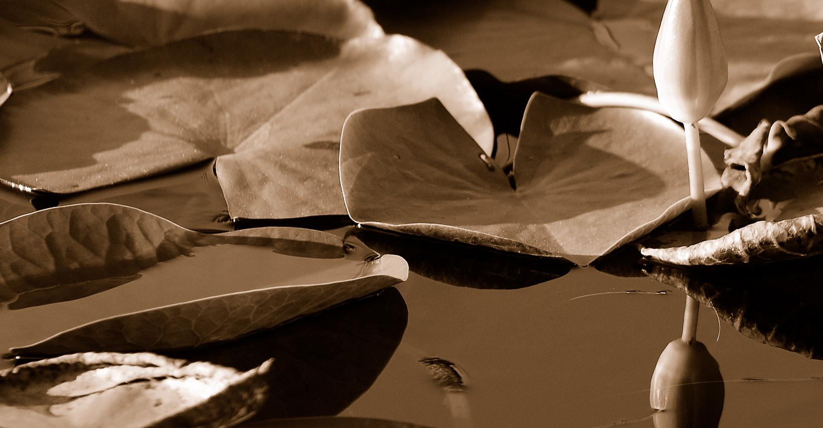 """""""Lotus Zen"""" ©SMD"""