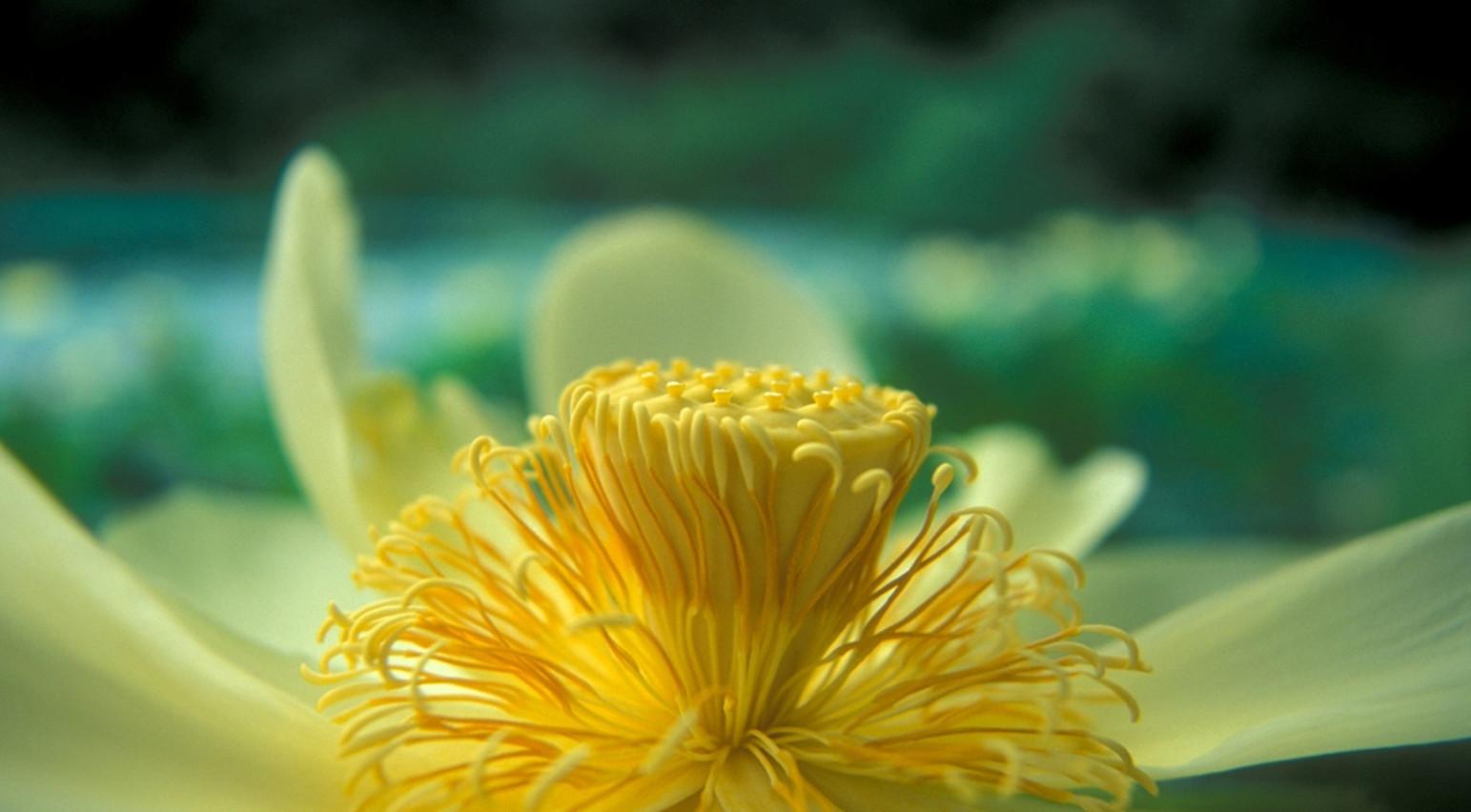 """""""American_Lotus"""".jpg ©SMD"""