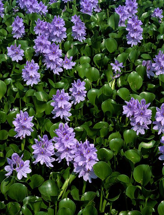 """""""Water Hyaciths.jpg ©SMD"""