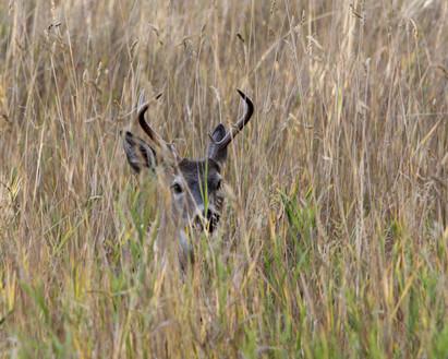 Deer in Brush