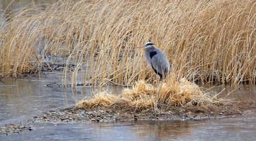 First Blue Heron