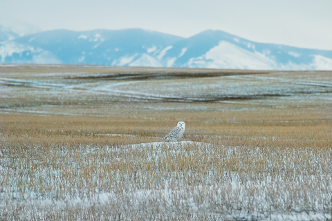 Snowy Owl and Sweetgrass Hills