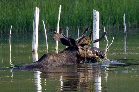 Bull Moose, Feeding