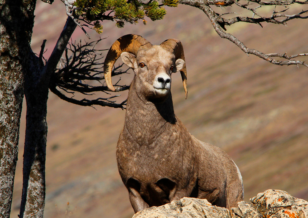 Ram in Glacier National Park