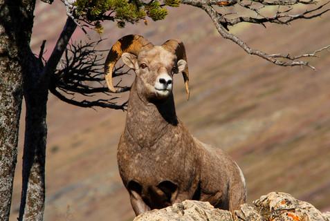 Ram in Glacier National Park